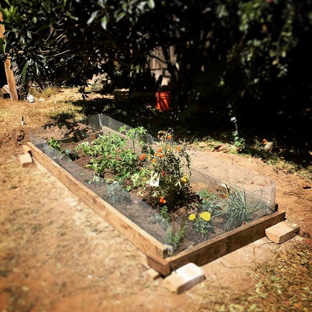 #Dreams do come true!! I've always wanted a #garden and it's finally time.  I built this raised bed (mostly) this week and got everything planted yesterday.  Huge #learningCurve and I'm #glad I #persevered past all my #failings - done is better than #perfect.  #Thanks to my #yardmates @giuliabelis and #Jake for helping finance it, and #Giulia for helping break ground. - #raisedbed #raisedbedgarden #gardening #socal #encinitas #backyard #growing #veggies #plants #sunshine #smiles