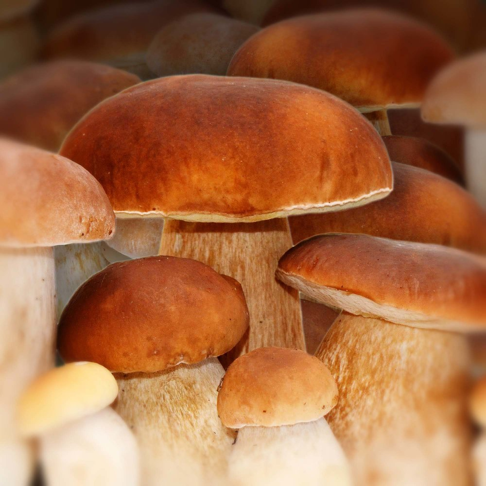 Seasons Porcini King Bolete by Riverport Trading