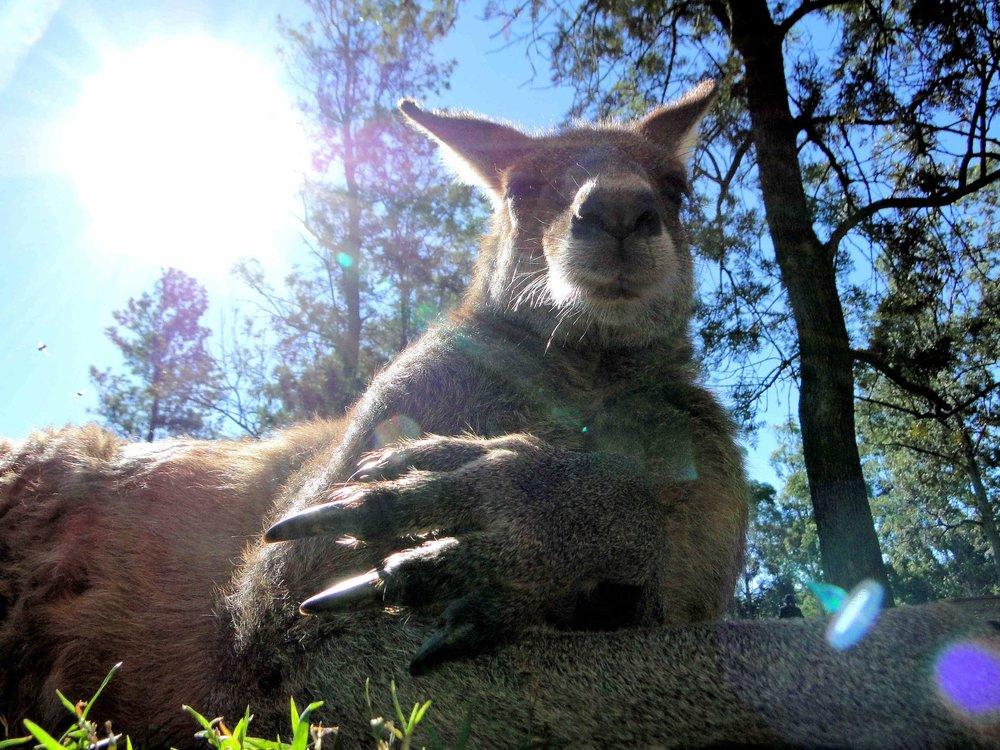 Brew, The 'chillaxed' Kangaroo