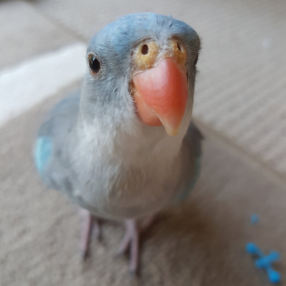 Goblin, Princess OF WALES Parrot, Blue Mutation, Male, Born 2011