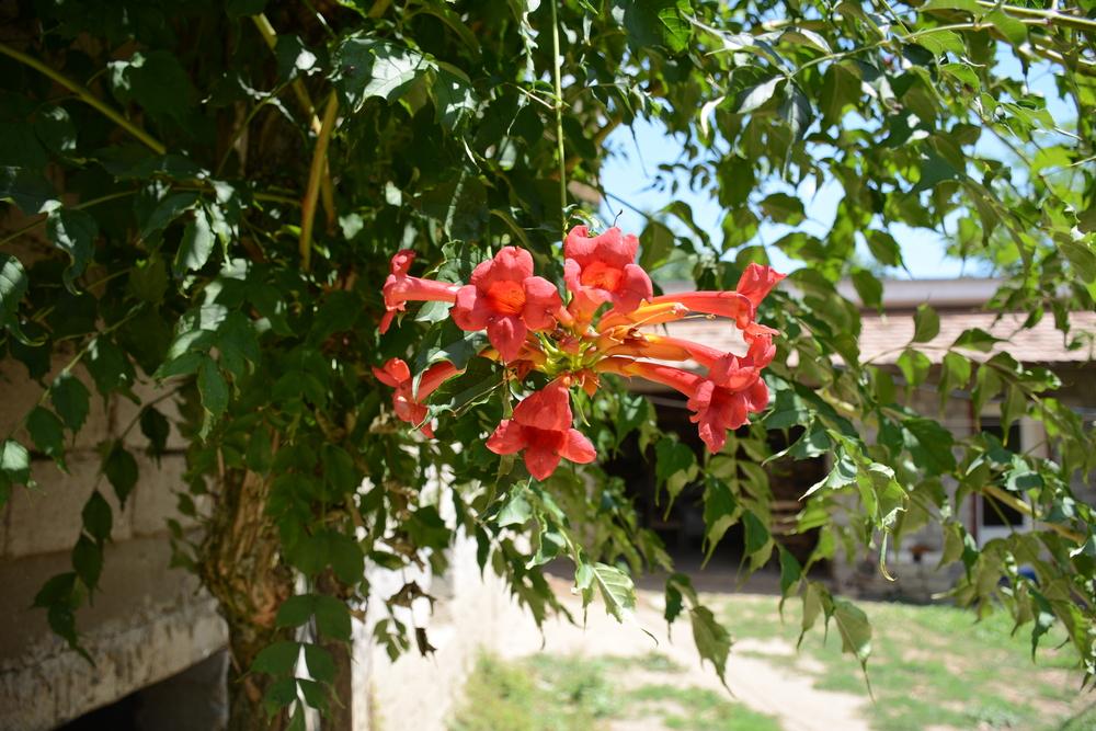 Bignonia Cross Vine.jpg