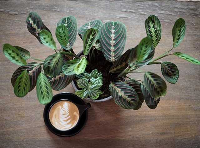 Meet our new prayer plant! We love the way it's leaves resemble latte art. Watch this beauty's leaves turn upward as the sun sets. Find them @tillerystplantco thanks @hoja_atx !