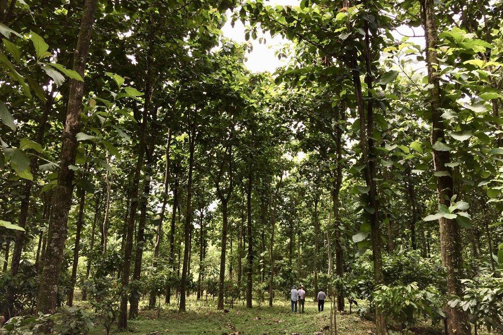 Hemos sembrado más de 700 mil árboles en toda Guatemala - Nuevas Raíces reforesta y restaura parajes naturales al trabajar con comunidades socias para sembrar árboles de madera dura valiosa, los cuales podrían producir millones de dólares en el largo y corto plazo.Nuevas Raíces organiza talleres de siembra, cultivo, clonación, procesamiento de productos forestales y valoración de recursos locales.