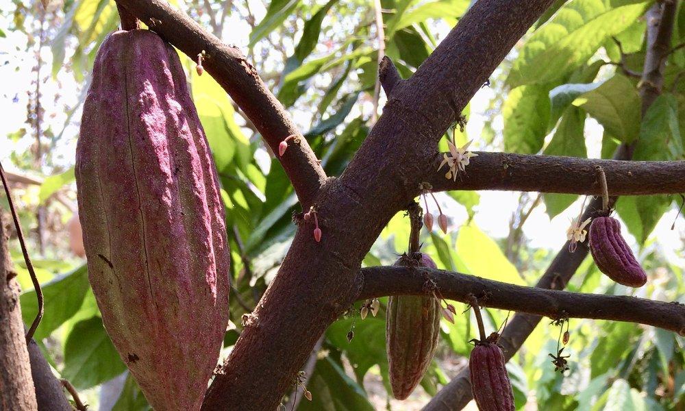 Ayudamos a diversificar comunidades a través de la agrosilvicultura - Nuevas Raíces provee plantas de cacao y otros productos de sombra como la vainilla y el xate para agregar valor a corto plazo a los bosques en maduración. Nuestras capacitaciones periódicas y el apoyo local garantizan que estas comunidades estén utilizando métodos de crecimiento inteligentes y orgánicos.Después de años de cuidadoso cultivo, ahora estamos trabajando con nuestras comunidades socias para ampliar la infraestructura que procese cacao en bruto utilizando recursos locales y sostenibles.