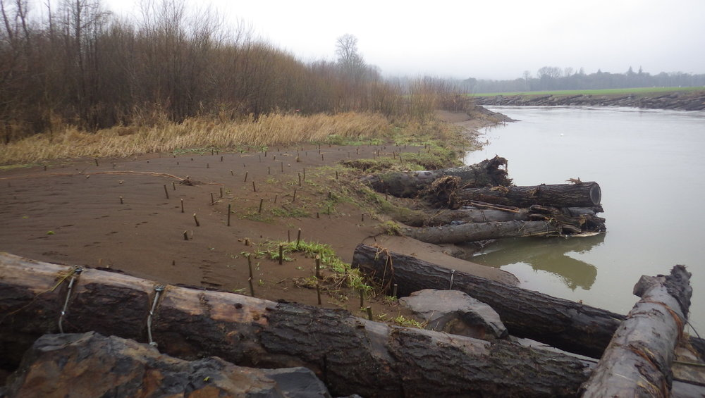 Example of large woody debris and willow planting.