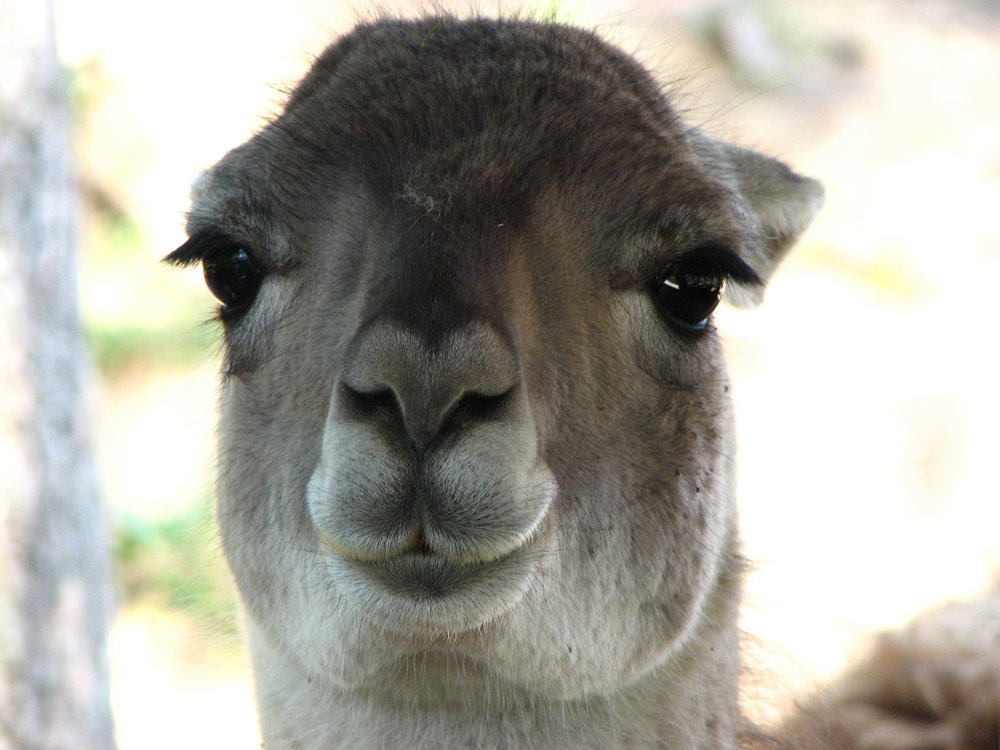 How awesome is this Llama?