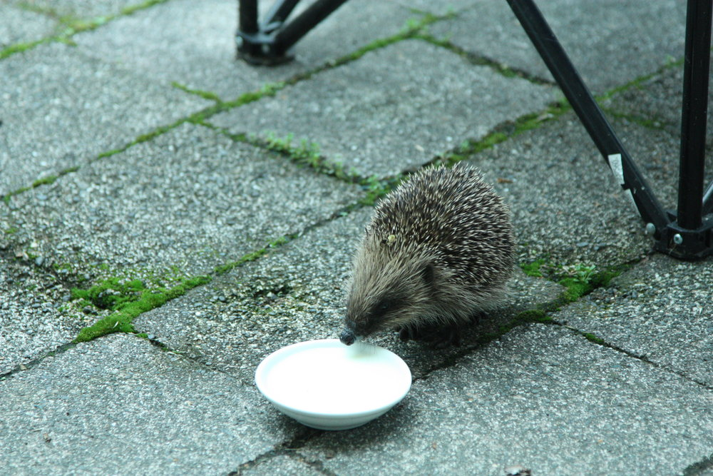 A hedgehog, fat as butter, totters along the pavement. -