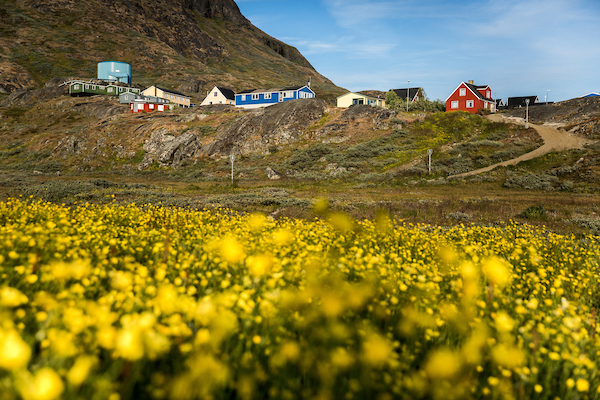 A field of flowers in Narsaq in South Greenland.jpg