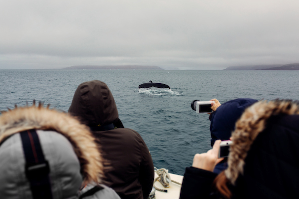 Group of tourist taking photos of a passing humpback whale in Nuuk.jpg