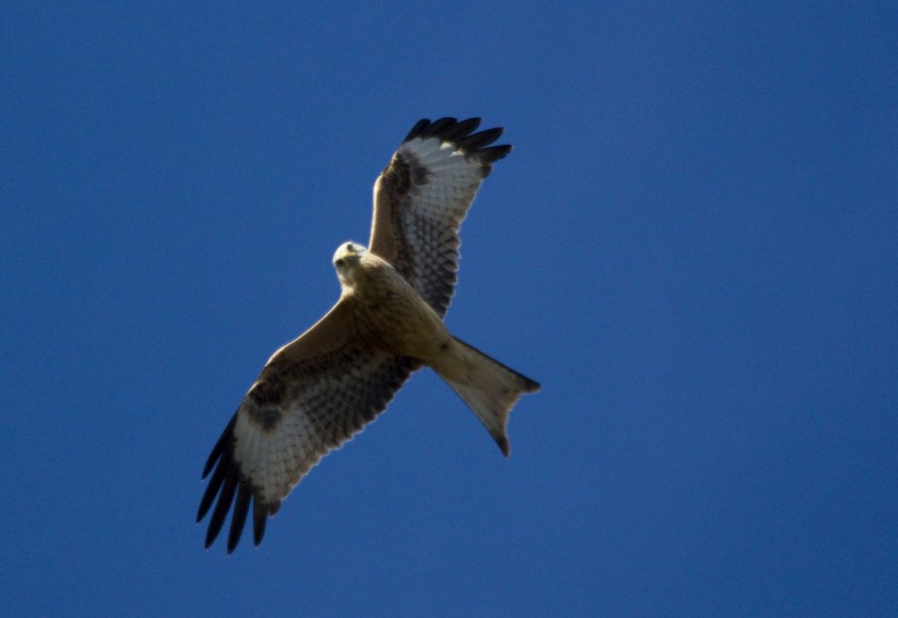 Red kite above the farm
