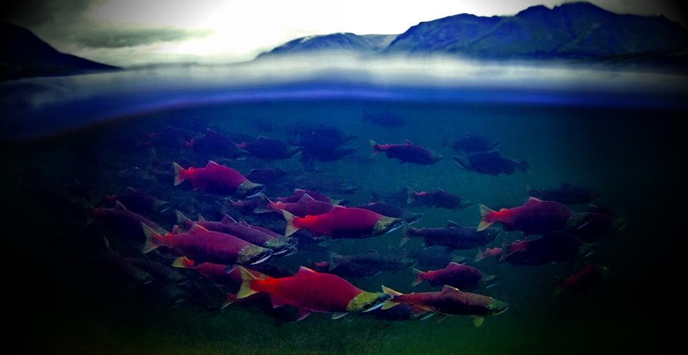 EAT WILD SAVE WILD → Eat wild salmon