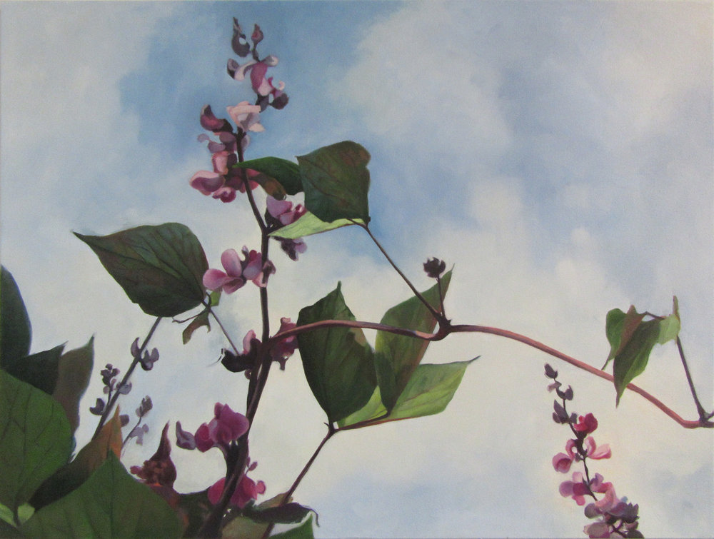 Hyacinth Bean Vine5