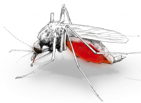 cropped mosquito.png