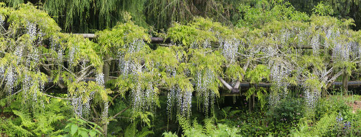 The Wisteria Bridge, connecting the Jungle Garden to the Bulb Meadow