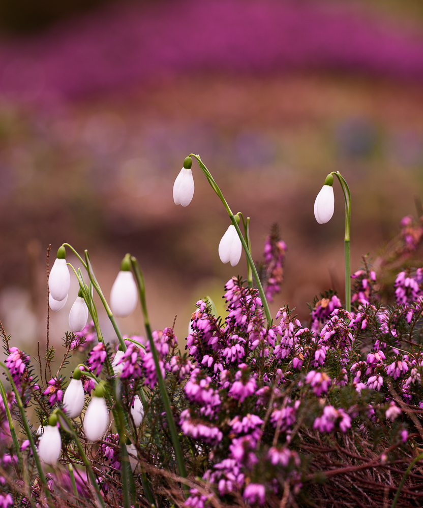 Snowdrops and heather in the Bulb Meadow at The Garden House by Philip Smith.