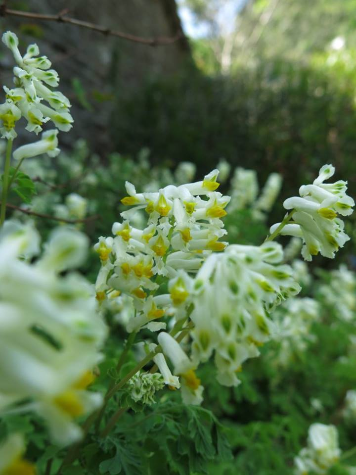 Corydalis ochroleuca.jpg