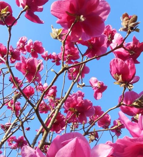 Eye popping pink - our Felix Jury Magnolia