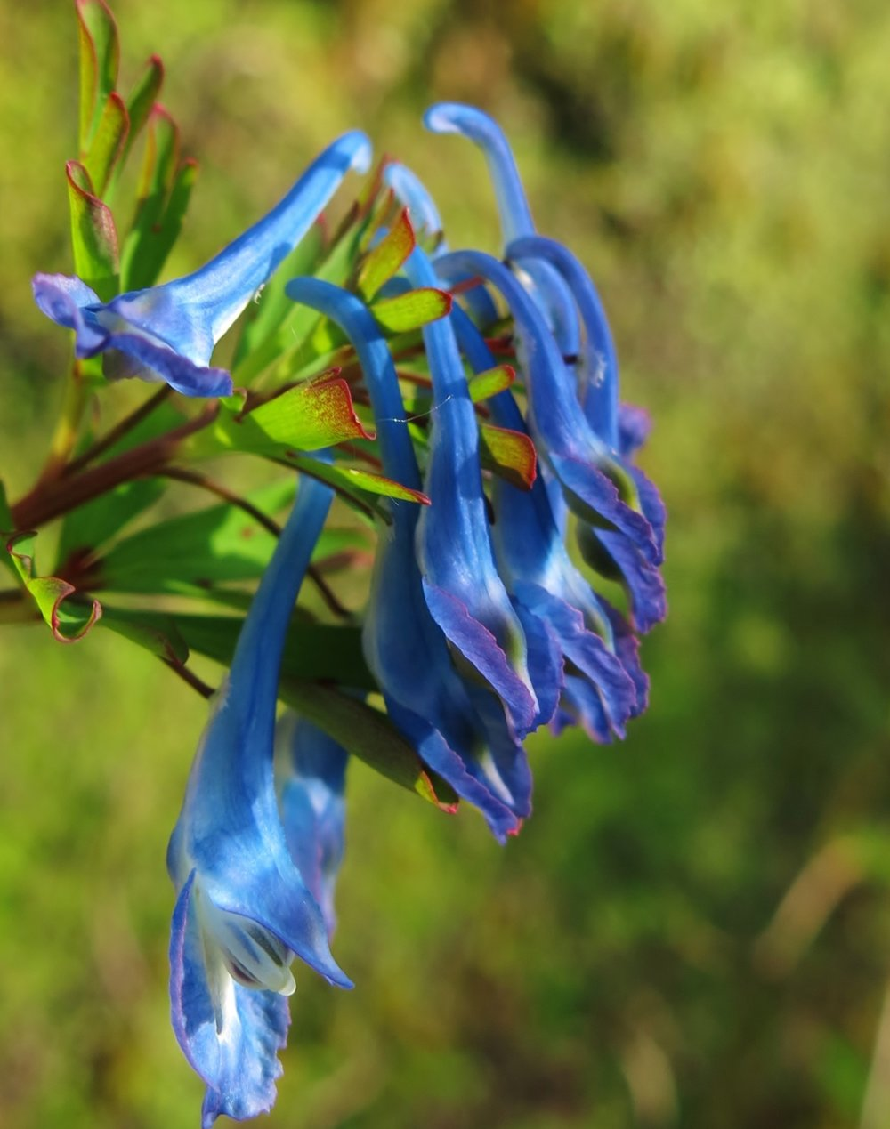 Plant a little bit of The Garden House today - How about a Corydalis Tory MP…