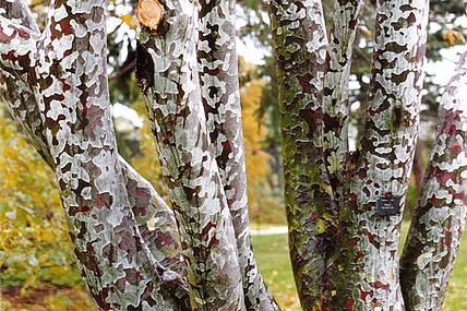 Lacebark Pine Bark