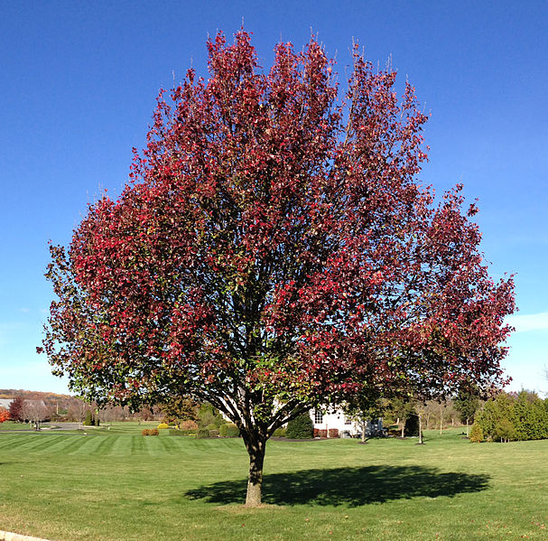 Callery Pear Shape