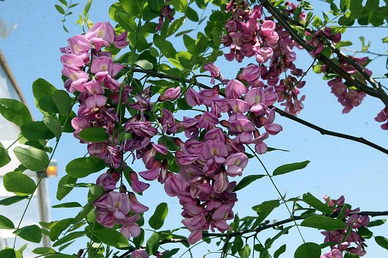 800px-Robinia_pseudoacacia_Purple_Robe_0zz.jpg