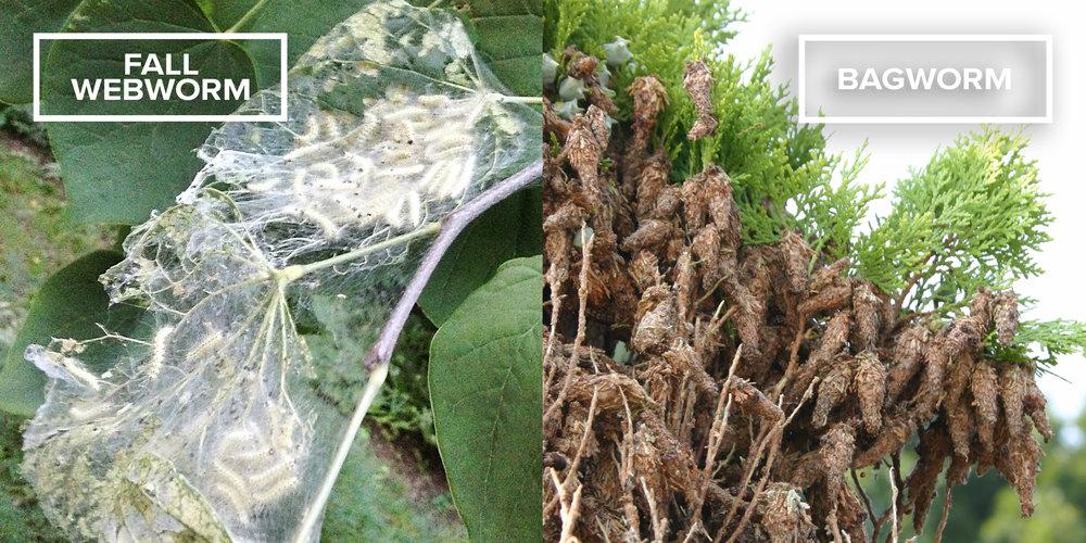 fall-webworm-vs-bagworm.jpg