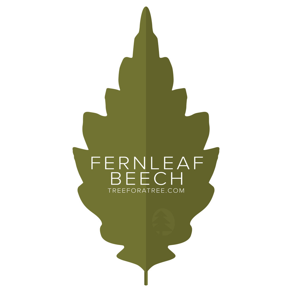 Fernleaf Beech - Latin Name: Fagus sylvatica AsplenifoliaGrowth Rate: SlowMature Height: ≈60 ftMature Spread: ≈40 ftState Champ: N/A