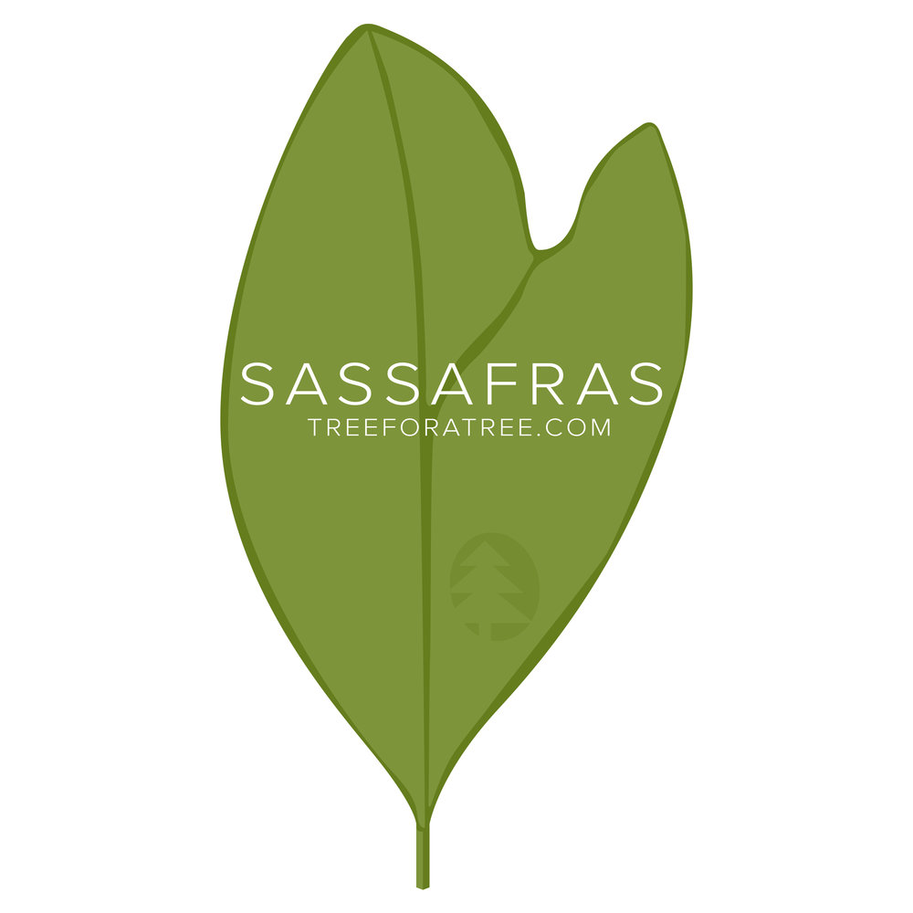 Sassafras - Latin Name: Sassafras albidumGrowth Rate: Very FastMature Height: ≈50 ftMature Spread: ≈30 ftState Champ: Portage Co. (57' high x 61' spread)