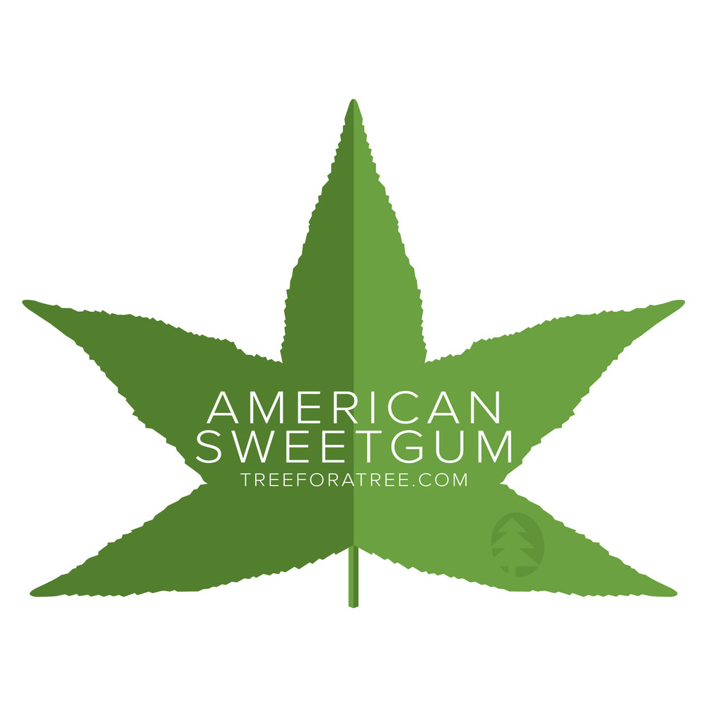 American Sweetgum - Latin Name: Liquidambar styracifluaGrowth Rate: Medium/FastMature Height: ≈30 ftMature Spread: ≈30 ftState Champ: Athens Co. (127' high x 79' spread)