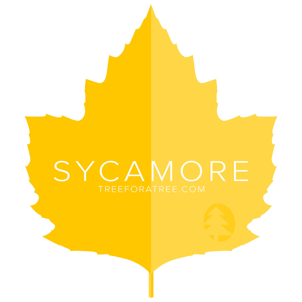 Sycamore - Latin Name: Platanus occidentalisGrowth Rate: Medium/FastMature Height: ≈80 ftMature Spread: ≈60 ftState Champ: Ashland Co. (124' high x 88' spread)