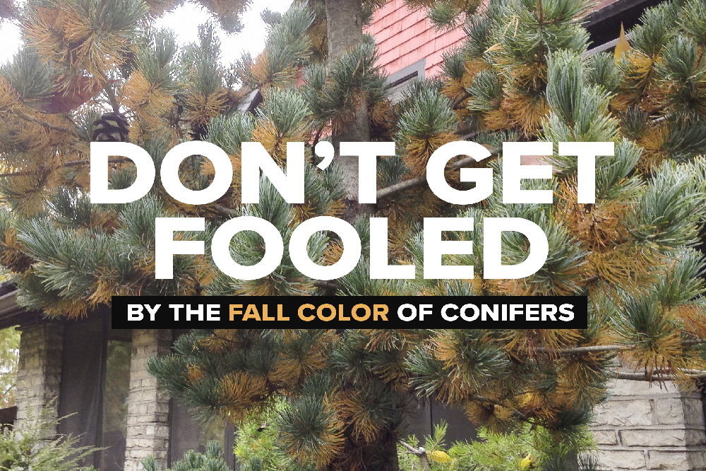 conifer-fall-color-cover.jpg