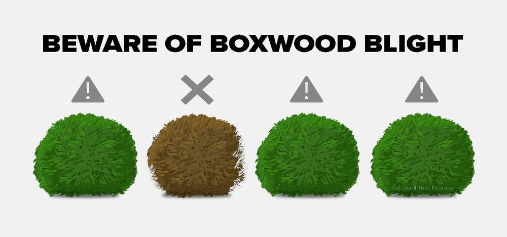 181211-boxwood-blight.jpg