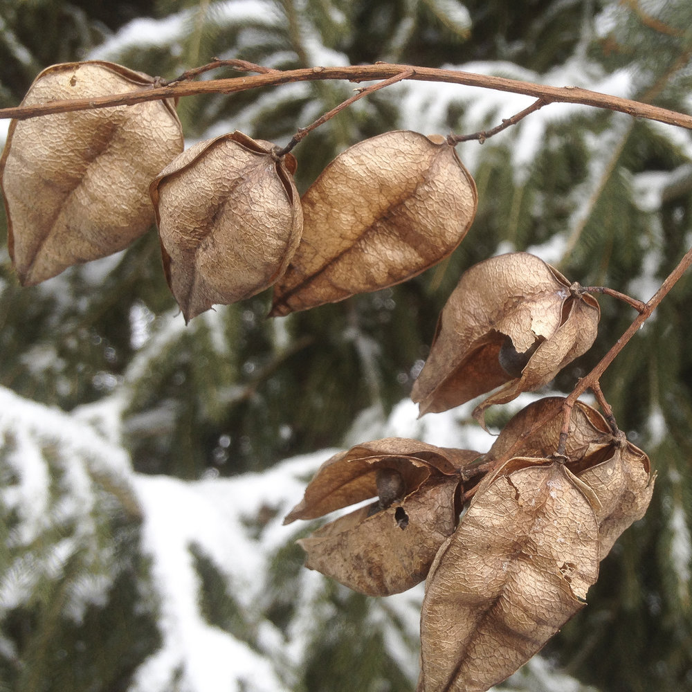 Golden Rain Tree - The seed pods of Golden rain tree, Koelreuteria paniculata.