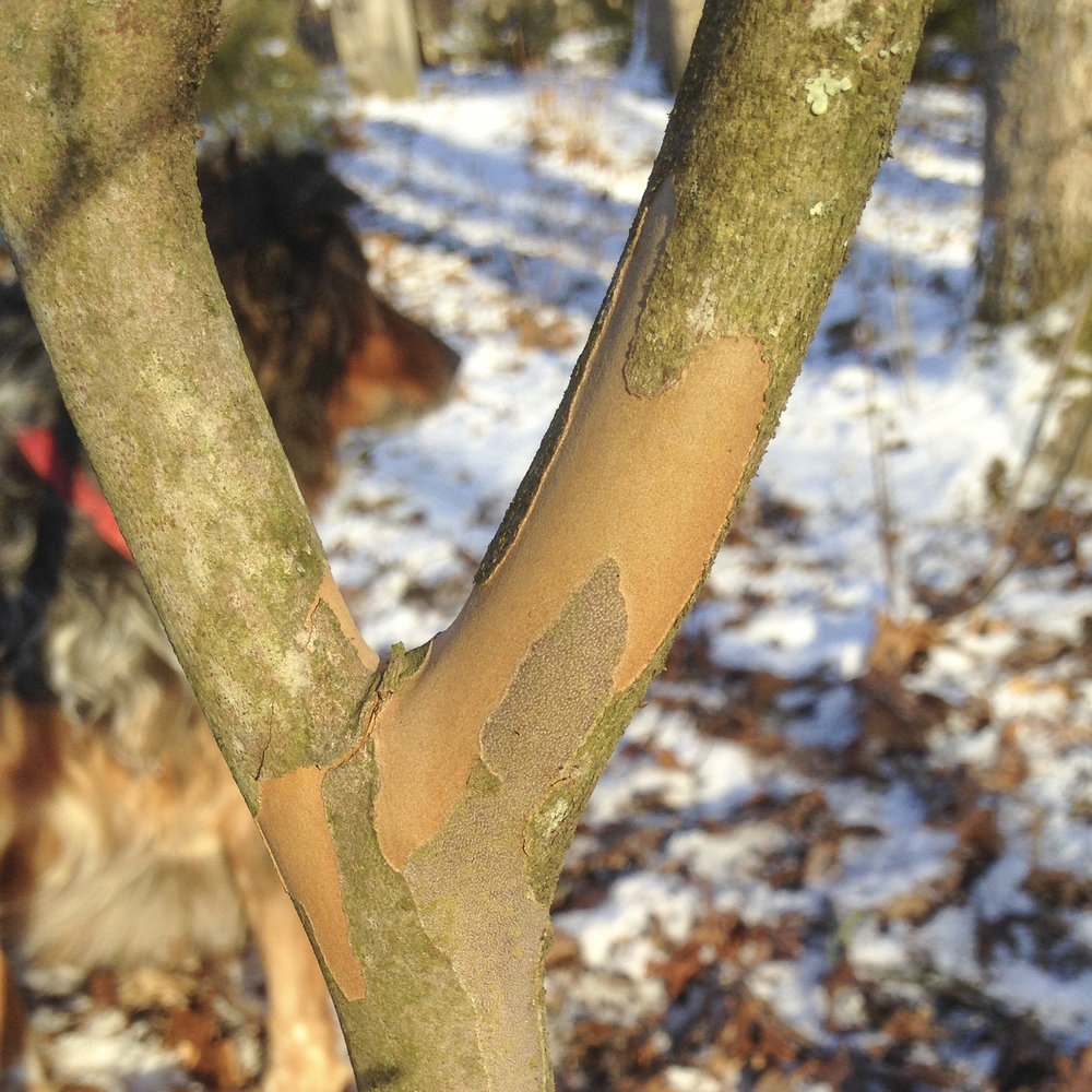 Japanese Stewartia & Echo - The beautiful apricot underbark of Japanese stewartia, Stewartia pseduocamellia (framing my best friend Echo).