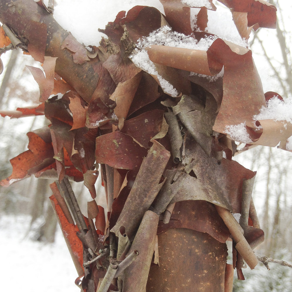 Paperbark Maple - The magnificent exfoliating bark of Paperbark maple, Acer griseum.
