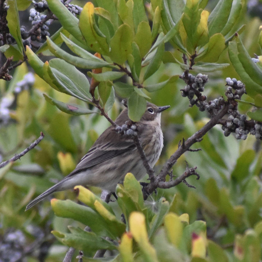 Bayberry - Myrica pensylvanicaThis medium sized semi-evergreen shrub produces silvery-gray berries that persist year around and that are cherished by chickadees, bluebirds, catbirds, red bellied woodpeckers and warblers.