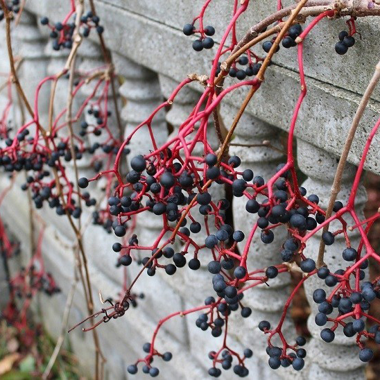 Virginia Creeper - Parthenocissus quinquefoliaVirginia creeper is vigorous, adaptable and urban tolerant vine with winter persistent fruit that attracts thrushes, robins, catbirds, cardinals, warblers woodpeckers and many other bird species. Also has great scarlet fall color in the foliage.