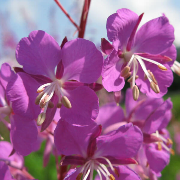 fireweed-icon.jpg