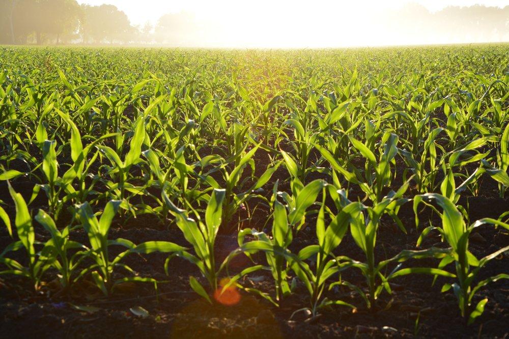 agriculture-corn-cropland-96715.jpg