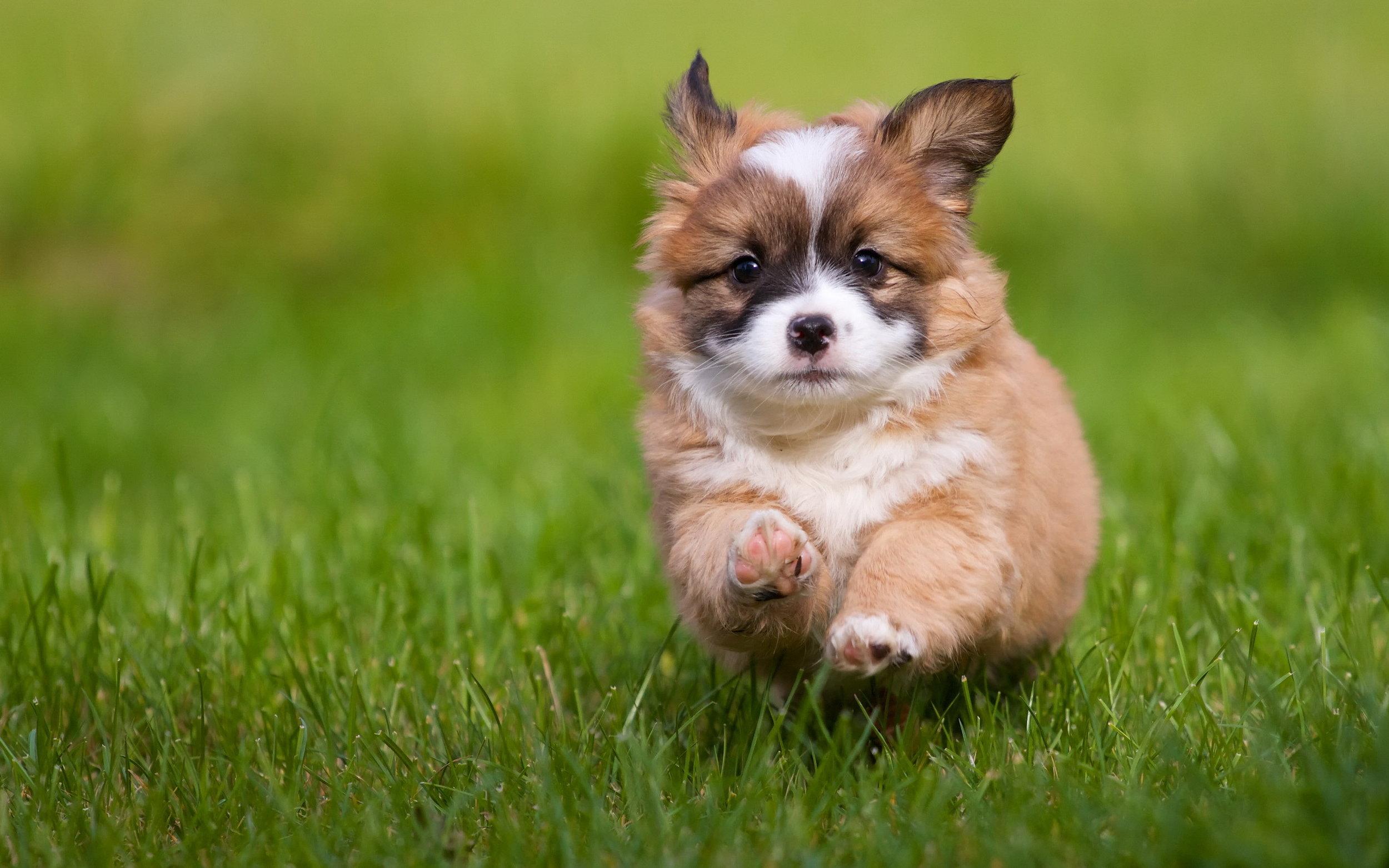 puppy_grass_running_walking_dog_95389_2560x1600
