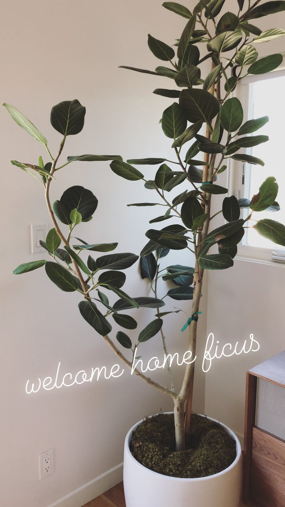 Ficus Benghalensis, 14 inch, $165