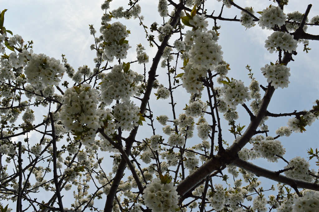 Looking up through the cherry tree (spring 2016)