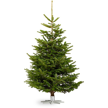 Nordmann Fir - Renowned for its needle retention this glossy green Christmas tree has soft needles making it a great choice for families with young children or pets.It's traditional shape and practicality make this our most popular tree.0-6 ft | £356-7 ft | £407-8 ft | £508-9 ft | £659-10 ft | £75