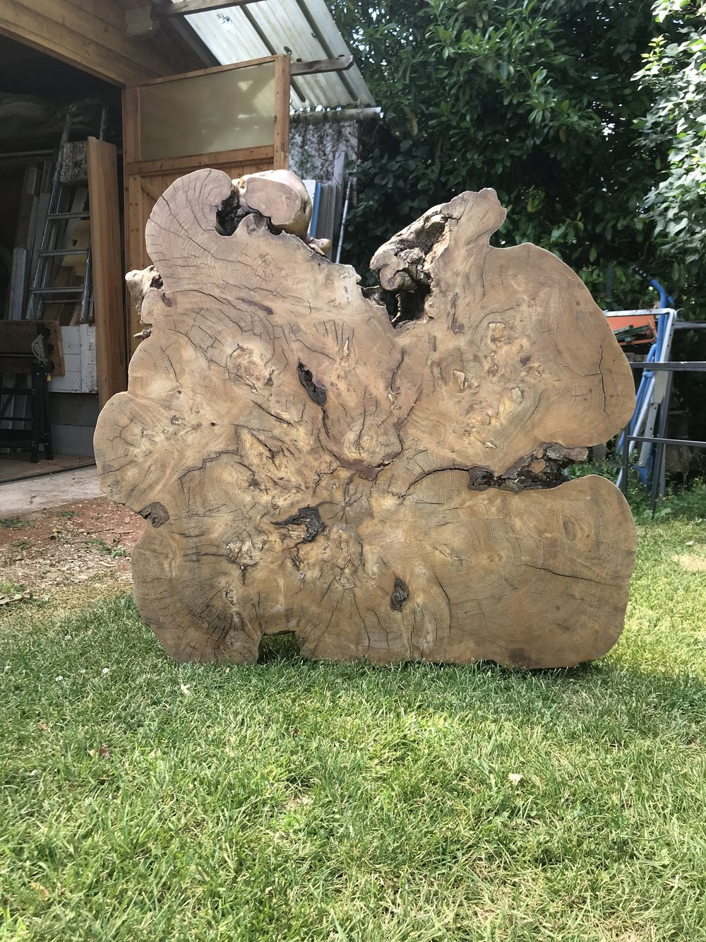 French Oak Slab Showing her amazing lines... day one