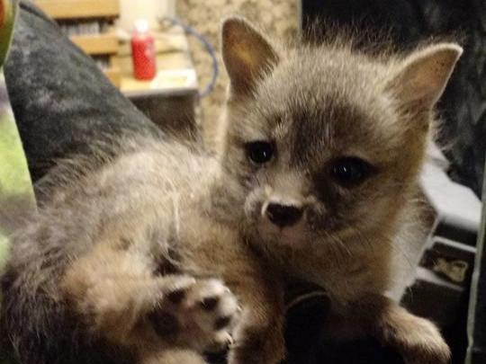 Baby+grey+fox.jpg