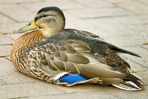 Duck on the Pavement.jpg
