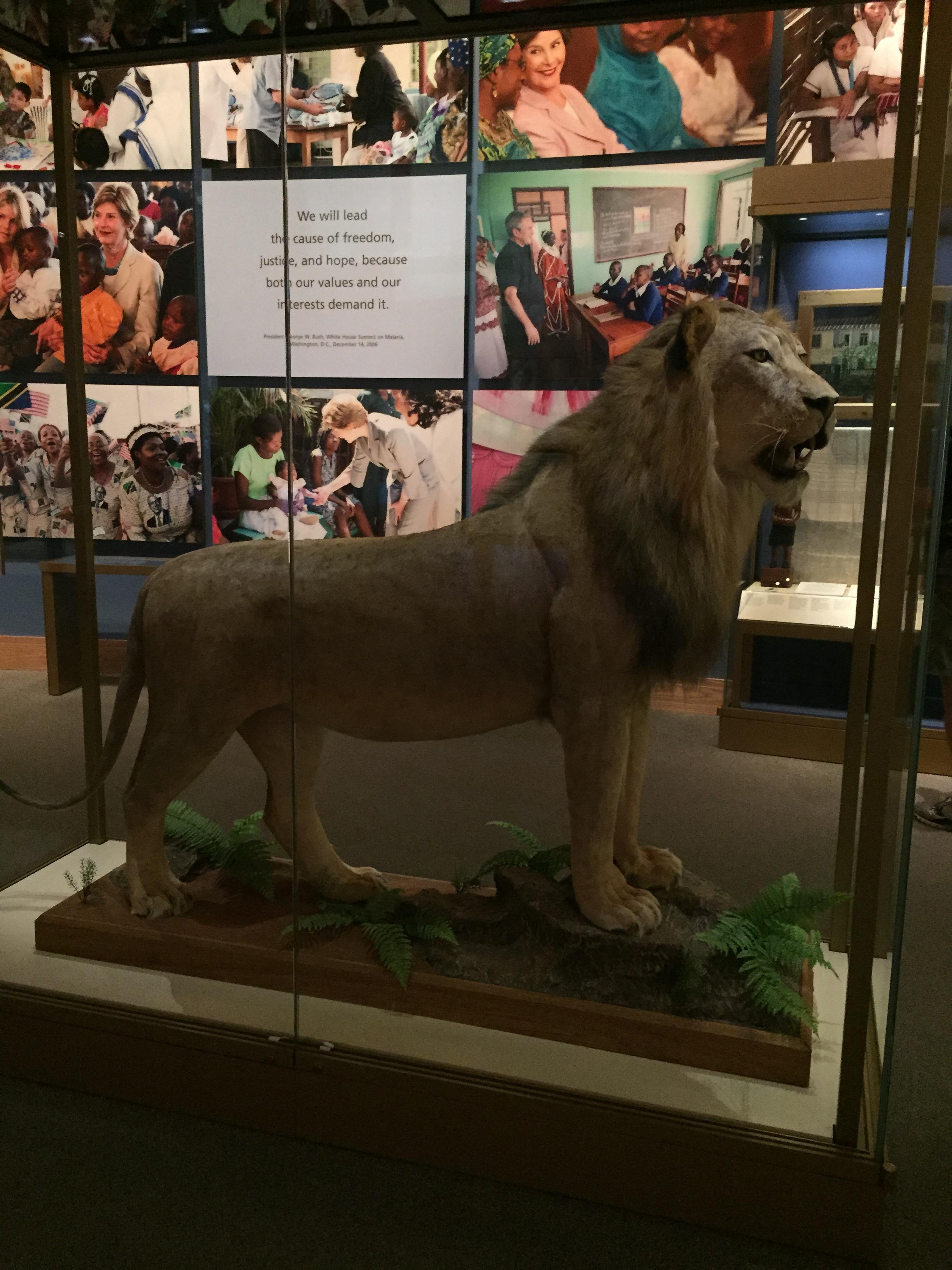 Lion_Tanzania