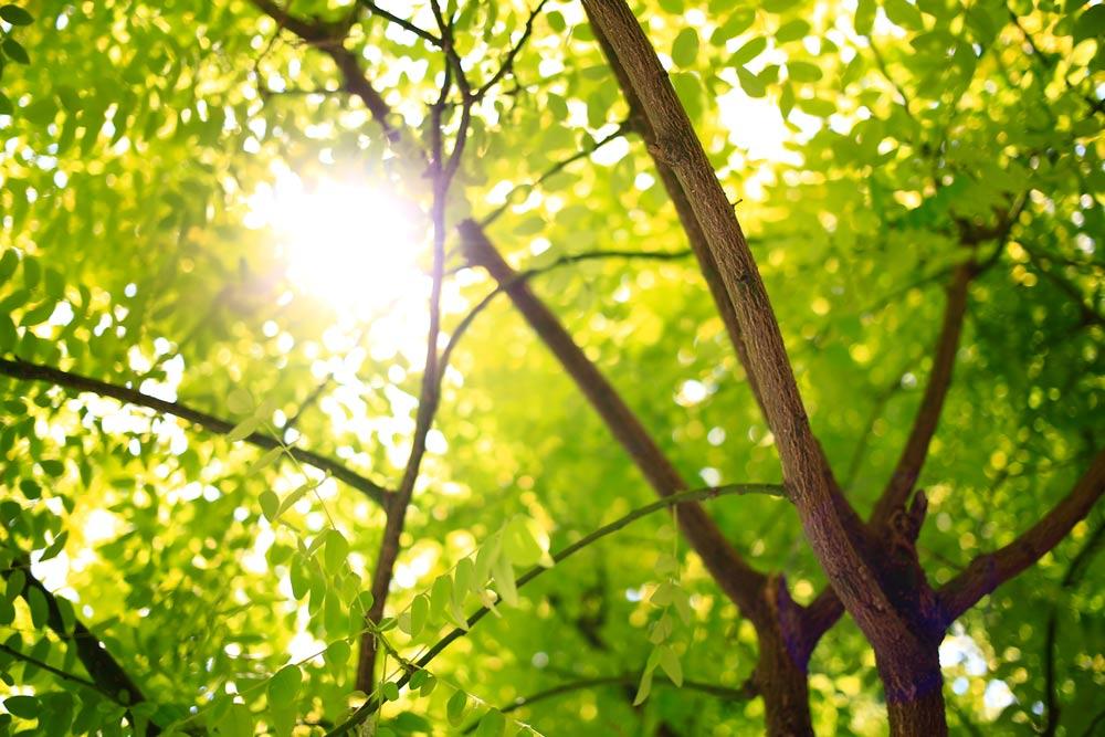 樹葉透過陽光照射行光合作用