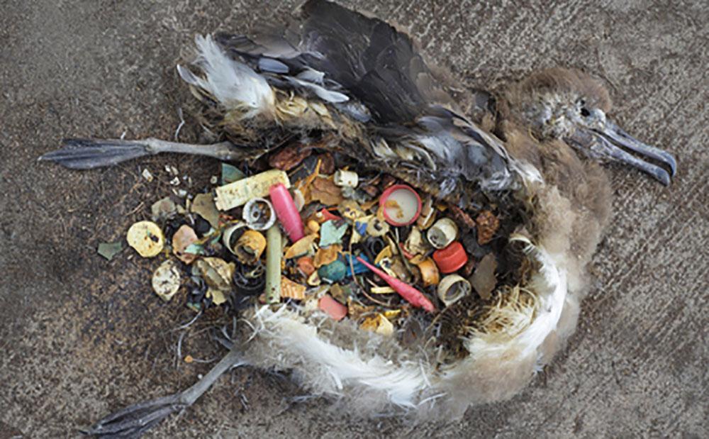 倒斃在地的海鳥,腹內竟是各種塑膠垃圾