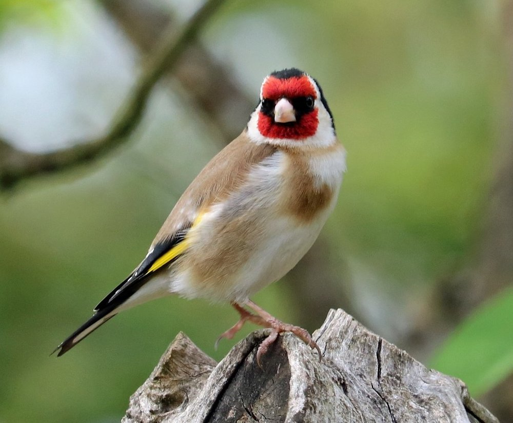 goldfinch new.jpg